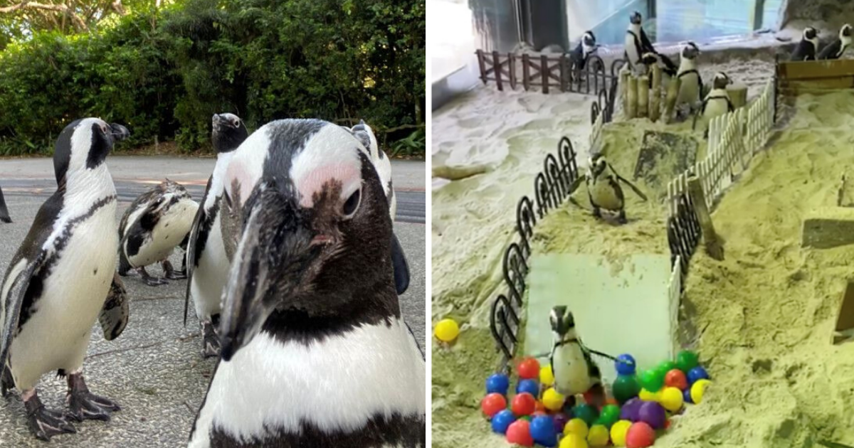 penguins6.png - Bored Penguins Roamed Around Empty Zoo And Were Given Their Own Obstacle Course