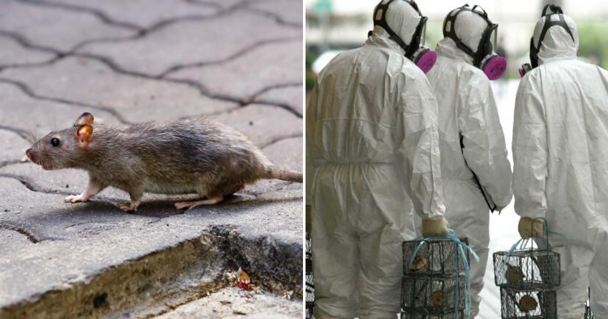 rats6.png - Rats Are Infecting Humans With Hepatitis E, And Even Experts Don't Know How