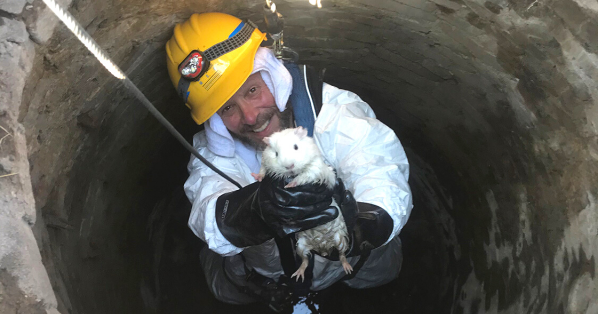 snowball3.png - Thrill-Seeking Guinea Pig Escaped From Home And Had To Be Rescued From Sewer Pipe
