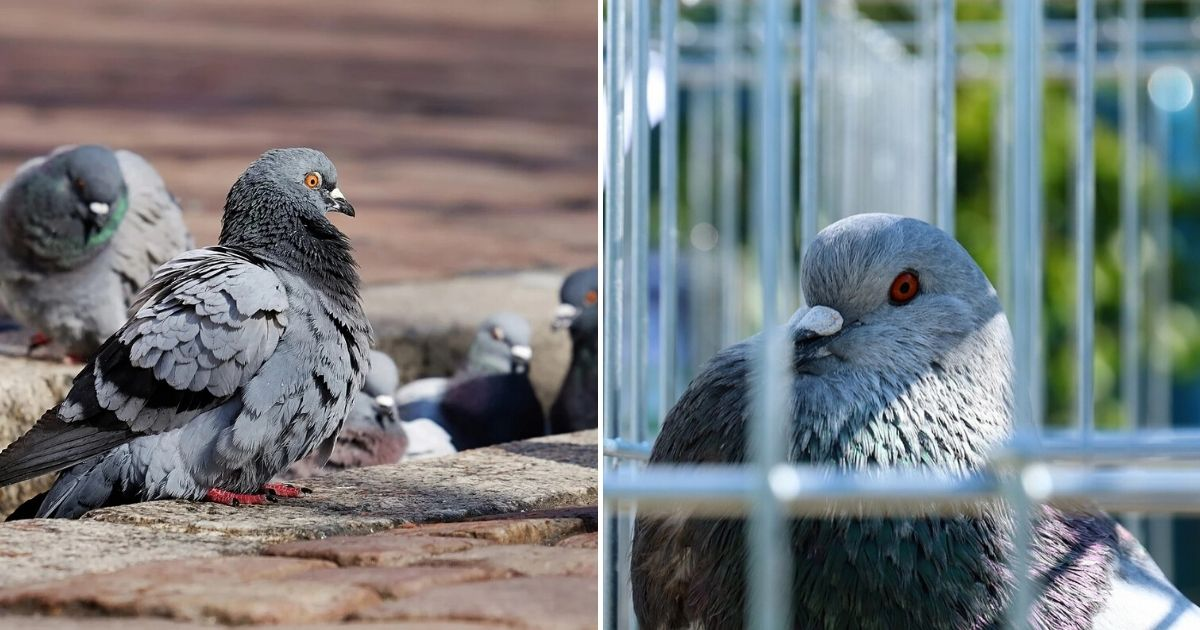 untitled design 1 17.jpg - Pigeon Suspected Of Being A Spy Got Arrested By The Police