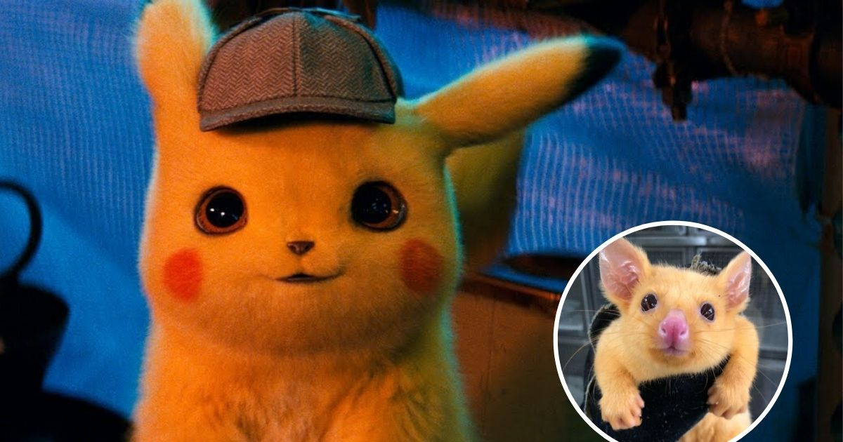 untitled design 3 11.jpg - Vets Shared Photos Of A Rare Golden Possum That Looks Like Pokémon Pikachu