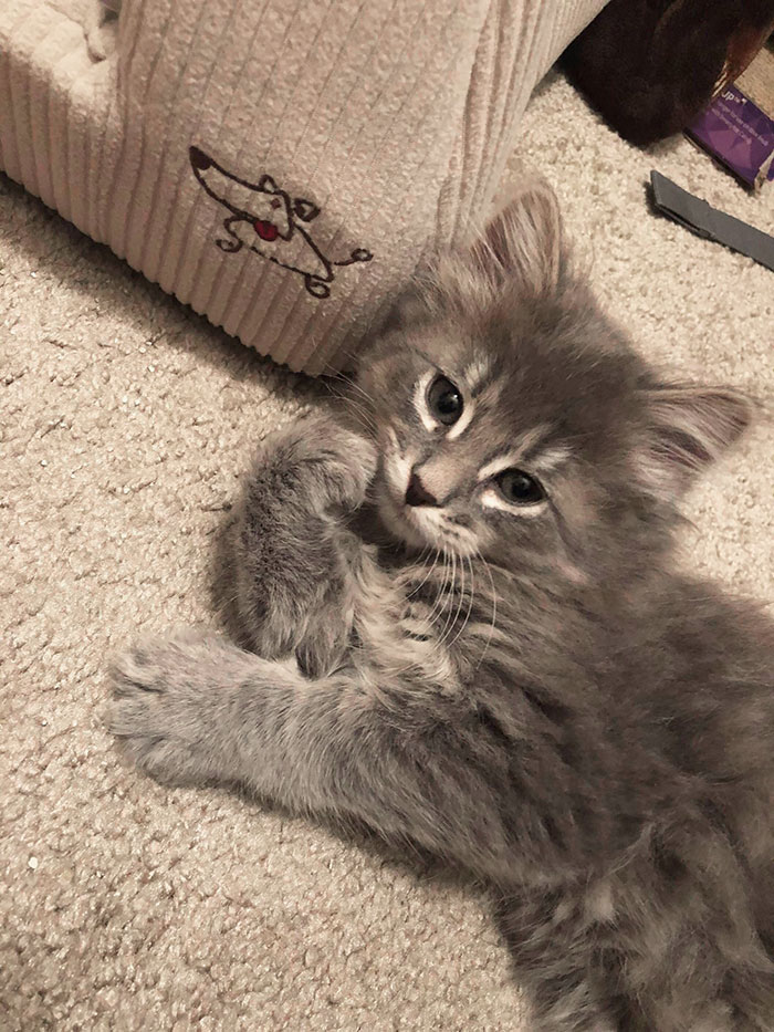 15+ Adorable Maine Coon Kittens That Will Grow Into Giant Cats