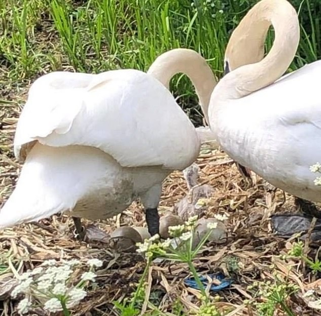 Mother Swan Died From Broken Heart After Teens Destroyed Her Nest