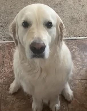'A Dog's Way Of Saying Sorry' Golden Retriever Apologizes To His Brother For Stealing His Treat