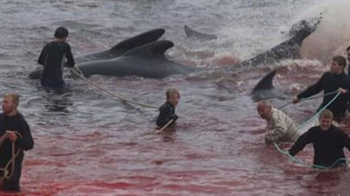Sea Turns Red As 250 Whales Slaughtered In Faroe Islands As Part Of Annual Ritual