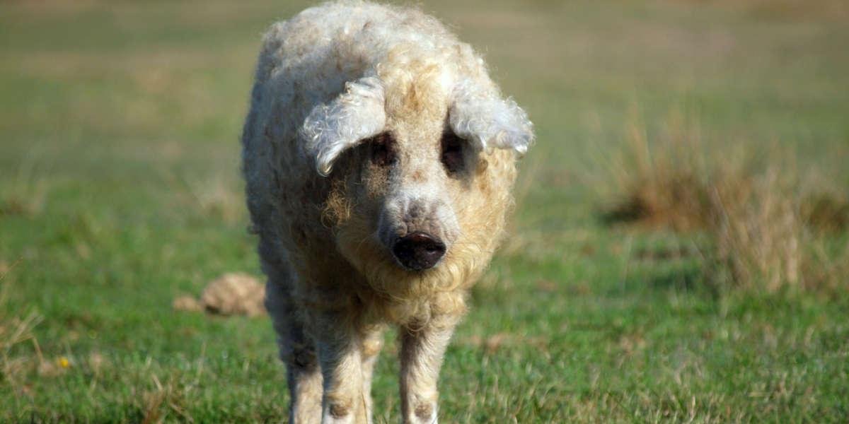 furry pig