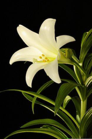 파일:백합꽃.jpg