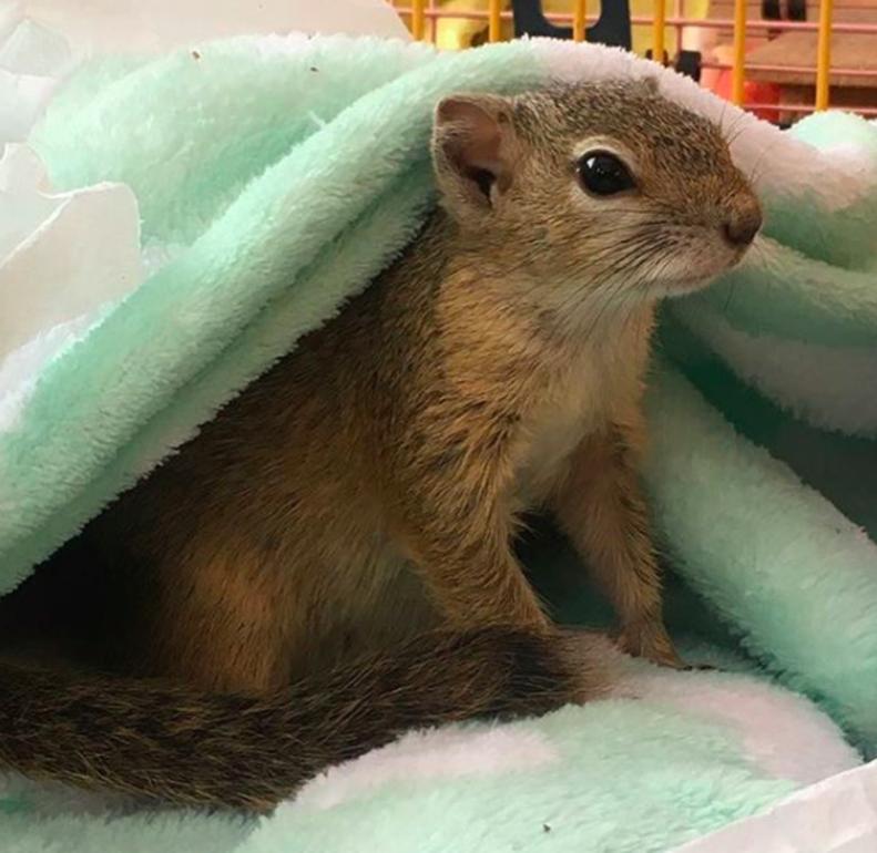 pregnant squirrel