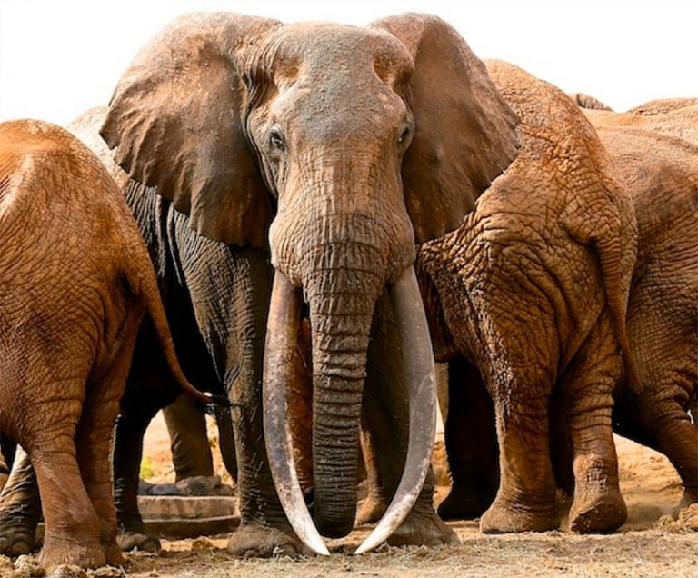 Tusker - 아프리카 야생코끼리 이야기