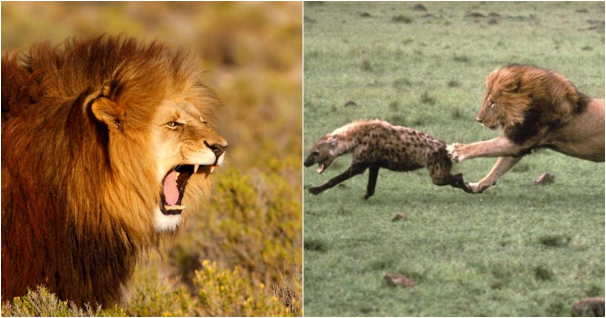 "collage 526.png - ""사실은 사자가 초원의 왕이 아니다""… 사실은 사자도 진짜 만나면 쫄고 도망가게 만든다는 초식동물들"