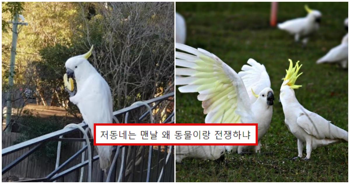 "collage 209.png - ""길가는데 앵무새가 저한테 욕했어요"" 호주의 사고뭉치 앵무새들"