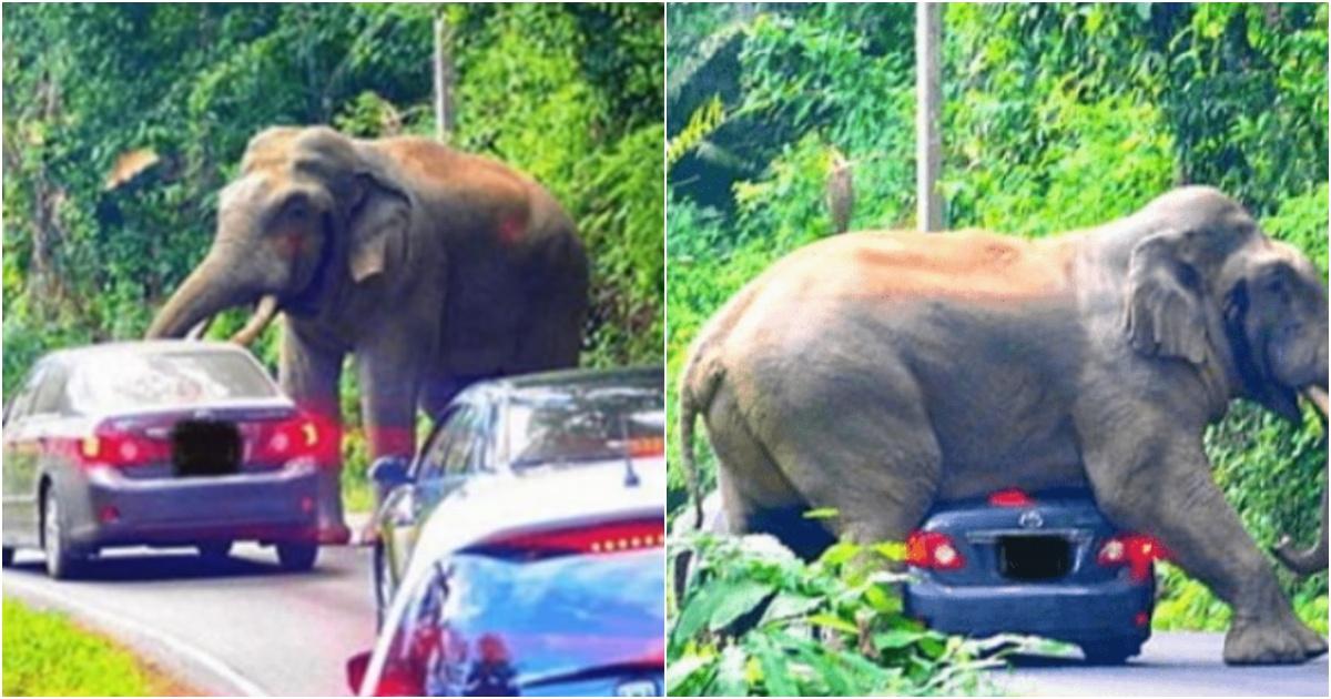 collage 297.jpg - 제대로 발정난 수컷 코끼리가 사람을 발견하자 시작한 충격적인 행동